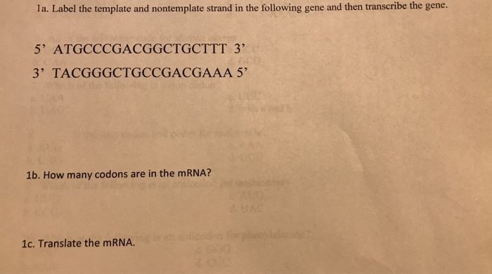 la. Label the template and nontemplate strand in the following gene and then transcribe the gene. 5 ATGCCCGACGGCTGCTTT 3 3 TACGGGCTGCCGACGAAA 5 1b. How many codons are in the mRNA? 1c. Translate the mRNA.