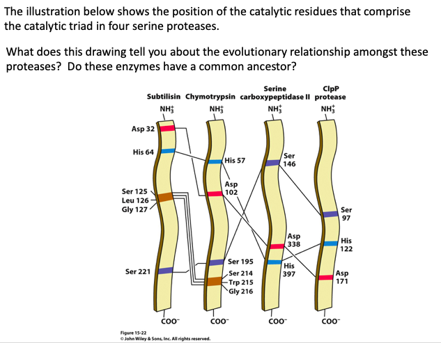 The illustration below shows the position of the catalytic residues that comprise the catalytic triad in four serine proteases What does this drawing tell you about the evolutionary relationship amongst these proteases? Do these enzymes have a common ancestor? Serine ClpP Subtilisin Chymotrypsin carboxypeptidase II protease NHi NH3 NHt Asp 32 His 64 Ser 146 His 57 Ser 125 Leu 126 Gly 127 102 Ser 97 Asp 338 His 122 Ser 195 Ser 214 Trp 215 Gly 216 His 397 Ser 221 Asp coo COO Coo Figure 15-22 O John Wley & Sons, Inc. All rights reserved.
