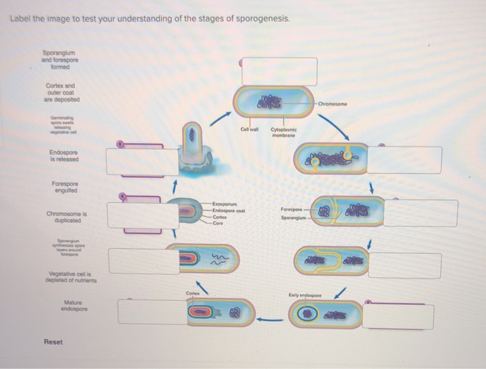 Label the image to test your understanding of the stages of sporogenesis. Sporangium and forespore formed Cortex and outer coat are deposned vegetative cel is released enguited -Erdopo e coat Sporangium Vegetative cell is depleted of nutrients Eary endospore Mature Reset