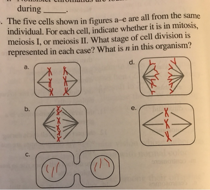 during The five cells shown in figures a-e are all from the same individual. For each cell, indicate whether it is in mitosis, meiosis I, or meiosis II. What stage of cell division is represented in each case? What is n in this organism? d. a. 囹 b. e. C.