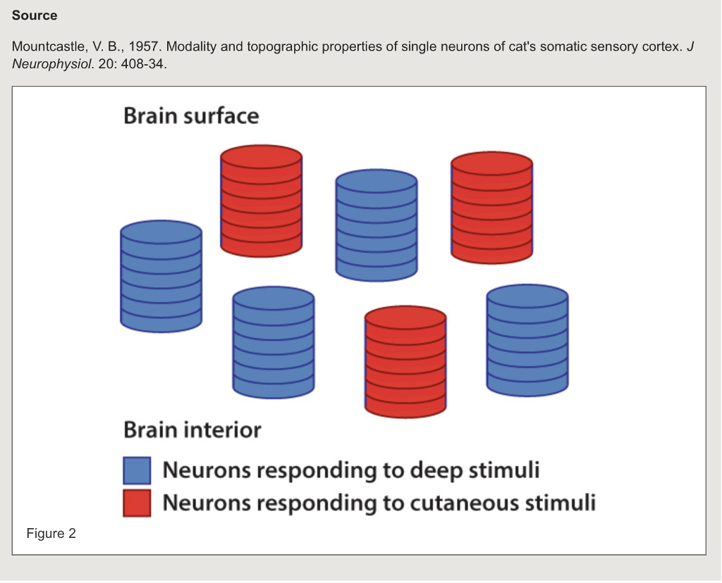 Source Mountcastle, V. B., 1957. Modality and topographic properties of single neurons of cats somatic sensory cortex. J Neurophysiol. 20: 408-34. Brain surface Brain interior Neurons responding to deep stimuli Neurons responding to cutaneous stimuli Figure 2