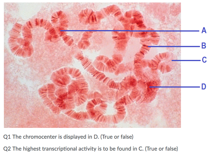 Q1 The chromocenter is displayed in D. (True or false) Q2 The highest transcriptional activity is to be found in C. (True or false)