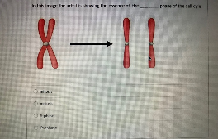 In this image the artist is showing the essence of the phase of the cell cyle O mitosis meiosis 5-phase Prophase
