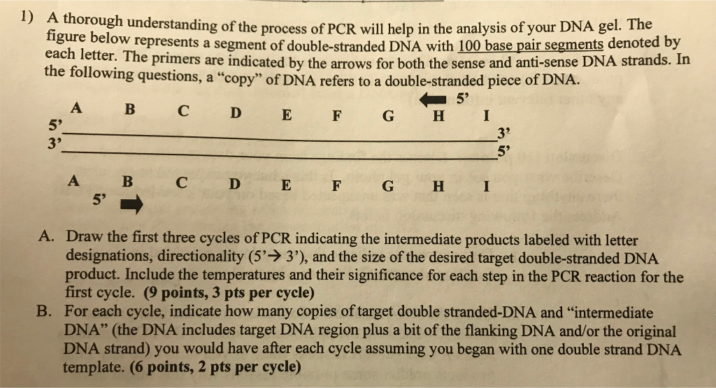 A thorough understanding of the figure belo each letter. The primers are indicated by the arrows for both the sense and anti-sense DNA strands. In the following questions, a copy of DNA refers to a double-stranded piece of DNA. process of PCR will help in the analysis of your DNA gel. The w represents a segment of double-stranded DNA with 100 base pair segments denoted by 5 A B C D E F G H A. Draw the first three cycles of PCR indicating the intermediate products labeled with letter designations, directionality (5- 3), and the size of the desired target double-stranded DNA product. Include the temperatures and their significance for each step in the PCR reaction for the first cycle. (9 points, 3 pts per cycle) For each cycle, indicate how many copies of target double stranded-DNA and intermediate DNA (the DNA includes target DNA region plus a bit of the flanking DNA and/or the original DNA strand) you would have after each cycle assuming you began with one double strand DNA template. (6 points, 2 pts per cycle) B.