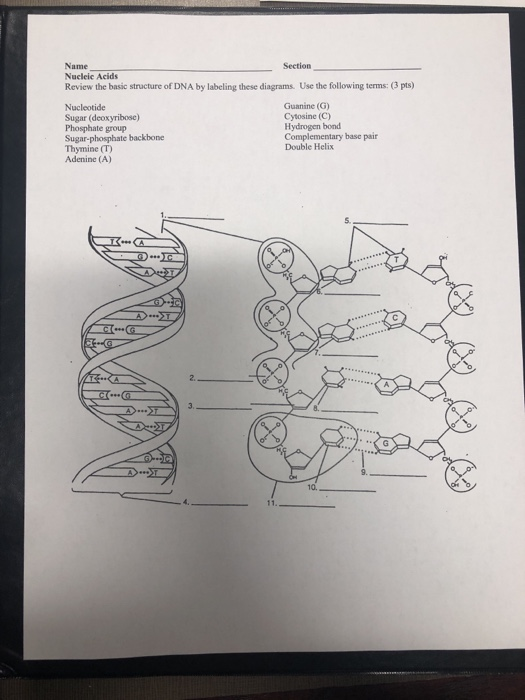 Name Nucleic Acids Review the basic structure of DNA by labeling these diagrams. Use the following terms: (3 pts) Section Nucleotide Sugar (deoxyribose) Phosphate group Sugar-phosphate backbone Thymine (T) Adenine (A) Guanine (G) Cytosine (C) Hydrogen bond Complementary base pair Double Helix s. 2. 10.