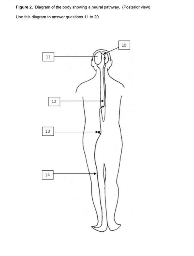 Figure 2. Diagram of the body showing a neural pathway. (Posterior view) Use this diagram to answer questions 11 to 20. 10 12 13 14