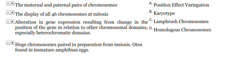 The maternal and paternal pairs of chromosomes The display of all 46 chromosomes at mitosis A. Position Effect Variegation 8. Karyotype し!Alteration in gene expression resulting from change in the -lampbrush Chromosomes Homologous Chromosomes position of the gene in relation to other chromosomal domains,D. especially heterochromatic domains Huge chromosomes paired in preparation from meiosis. Oten found in immature amphibian eggs.