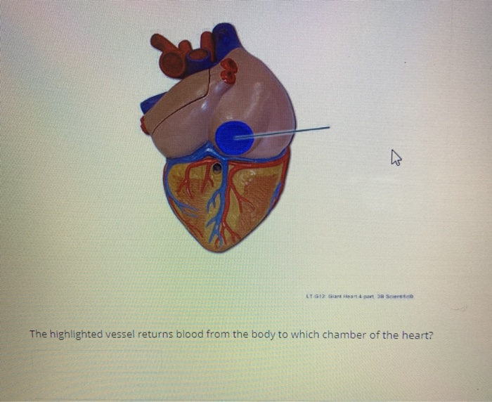 The highlighted vessel returns blood from the body to which chamber of the heart?